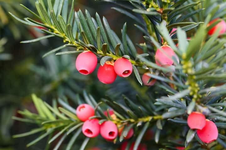 Taxus met rood fruit