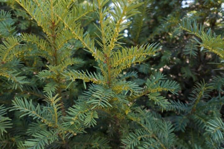 Taxushaag planten