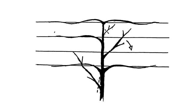 Hoe leibomen snoeien / onderhouden?