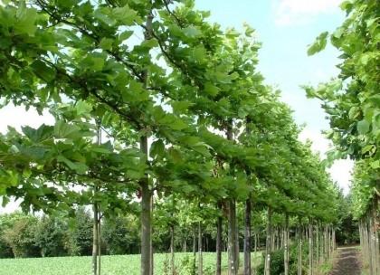 Leilinde: Plataan (Platanus acerifolia)